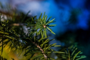 christmas-tree-1434515-m (Stock Photo By teslacoils) freeimages_phtml