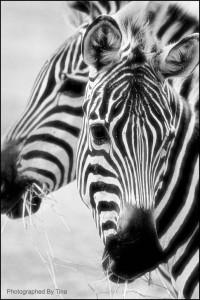 [www.StockPholio.com] 1080532317 Zebra x 2 Christina Robinson