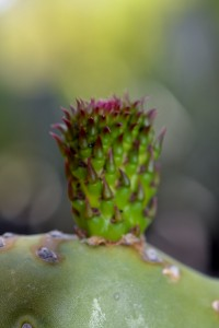 """Indian Fry Prickly Pear """"Bsby"""""""